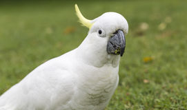 Sulphur-crested Cockatoo (Cacatua galerita) Stock Images