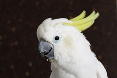 Sulphur-crested Cockatoo, Cacatua galerita Royalty Free Stock Photo