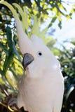 Sulphur-Crested Cockatoo (Cacatua galerita). Close up of a Sulphur-Crested Cockatoo Stock Image
