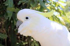 Sulphur-Crested Cockatoo (Cacatua galerita). Close up of a Sulphur-Crested Cockatoo Royalty Free Stock Photo