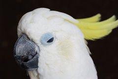 Sulphur-crested Cockatoo, Cacatua galerita Stock Photo