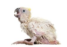 Sulphur-crested Cockatoo, Cacatua galerita. 35 days old against white background royalty free stock photos