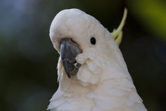 Sulphur-Crested Cockatoo Stock Photo