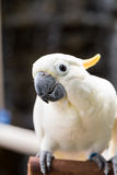 Sulphur-crested Cockatoo, Cacatua galerita perched on branches Stock Photo