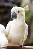 Sulphur-crested Cockatoo, Cacatua galerita perched on branches Stock Image