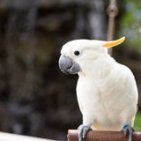 Sulphur-crested Cockatoo, Cacatua galerita perched on branches Stock Photography