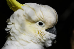 Sulphur-crested cockatoo Cacatua galerita Royalty Free Stock Image
