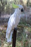 White Cockatoo. The sulphur-crested cockatoo Cacatua galerita is a relatively large white cockatoo found in wooded habitats in Australia and New Guinea and some Stock Photo