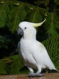 Sulphur crested Cockatoo Royalty Free Stock Photo