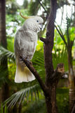 Sulphur-crested Cockatoo Cacatua galerita Royalty Free Stock Photo