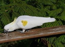 Sulphur-crested Cockatoo Royalty Free Stock Photo