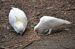 Sulphur-Crested Cockatoo and Corella Stock Image
