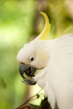 Sulphur-crested cockatoo feeding Stock Photos