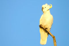 Sulphur crested Cockatoo in front of blue sky Royalty Free Stock Photography