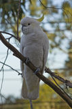 Sulphur Crested Cockatoo Full Body Royalty Free Stock Photo