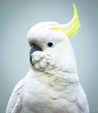 Sulphur-Crested Cockatoo Head and Shoulders Stock Photo
