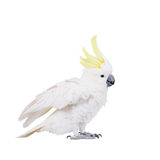 Sulphur-crested Cockatoo, isolated on white Stock Photography