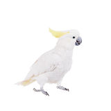 Sulphur-crested Cockatoo, isolated on white Stock Images