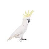 Sulphur-crested Cockatoo, isolated on white Stock Photo