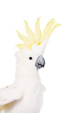 Sulphur-crested Cockatoo, isolated on white Royalty Free Stock Image