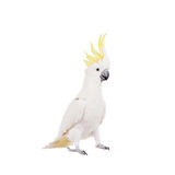 Sulphur-crested Cockatoo, isolated on white Royalty Free Stock Images