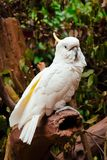 Sulphur Crested Cockatoo on its Perch. Sulphur crested cockatoo Cacatua galerita resting on its perch with feathers raised over its bill / beak royalty free stock photography