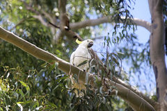 Sulphur-crested Cockatoo Stock Images