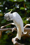 Sulphur Crested Cockatoo in nature surrounding Royalty Free Stock Photography