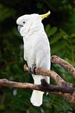 Sulphur Crested Cockatoo in nature surrounding Stock Image