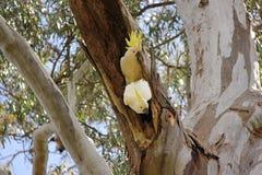 Sulphur-crested Cockatoo pair nestled in an Australian gumtree stock image