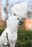 Sulphur-crested Cockatoo Parrot  looking at you Stock Images