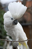 Sulphur-crested Cockatoo Parrot looking at you Stock Photos