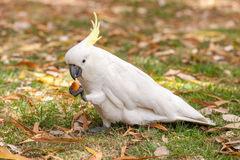Sulphur crested Cockatoo Parrot in Sydney Park. Royal Botanic Gardens. Eating. Royalty Free Stock Images