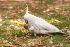 Sulphur crested Cockatoo Parrot in Sydney Park. Royal Botanic Gardens. Eating Food. Stock Images