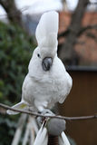 Sulphur-crested Cockatoo Parrot walking Royalty Free Stock Image