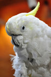 Sulphur-crested cockatoo Royalty Free Stock Photography