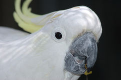 Sulphur-crested cockatoo Stock Photos