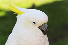 Sulphur Crested Cockatoo Portrait  Royalty Free Stock Photography