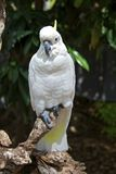 Sulphur Crested Cockatoo in the rainforest. Shows off his crest Stock Photos