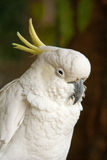 Sulphur-crested cockatoo resting royalty free stock photography