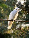 Sulphur-Crested Cockatoo. Seen in Woy Woy, NSW, Australia Stock Photos