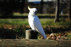 Sulphur-crested cockatoo. Sitting on a wooden barrier Stock Image