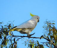 Sulphur-crested Cockatoo Royalty Free Stock Image