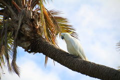 Sulphur Crested Cockatoo. On the trunk of a palm tree Stock Photo