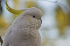 Sulphur Crested Cockatoo up close Royalty Free Stock Photography