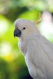 Sulphur-crested cockatoo Stock Image