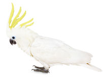 Sulphur-crested Cockatoo on the white background Stock Photos