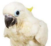 Sulphur-crested Cockatoo on the white background Stock Photo