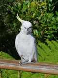 The Sulphur-crested Cockatoo with a yellow crest Royalty Free Stock Photos