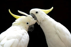 Sulphur-crested Cockatoos Royalty Free Stock Photo